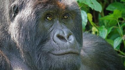 Mountain Gorilla Silverback in Virunga National Park, Democratic Republic of Congo