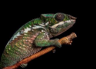 Panther chameleon, Furcifer pardalis Antalaha lizard from Madagascar