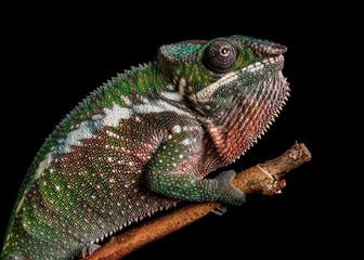 Panther chameleon Furcifer pardalis Antalaha