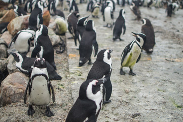 Penguin Colony in Hermanus, Garden Route, Western Cape, South Africa