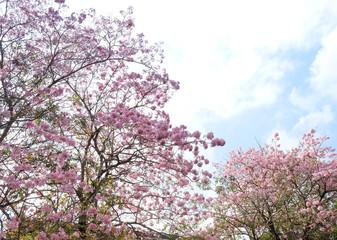 Pantip pink flowers.pink flower bloom on the tree.tabebuya flower.