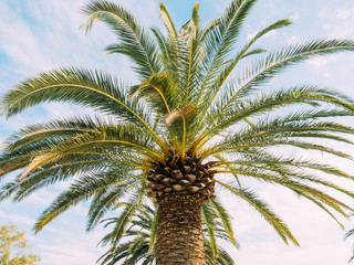 Palm tree. Date tree forest in Montenegro.