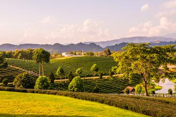 Garden Poster Vineyard Tea farm with lake in Thai