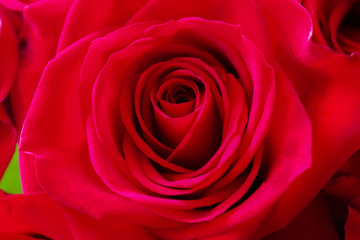 red rose close up,