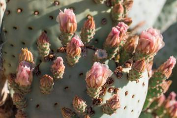 Cactus buds close up.