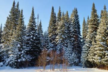 Siberian forest