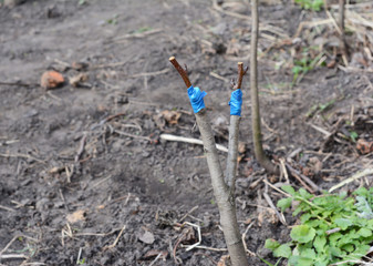 Grafting Fruit Pear Tree.  Step by Step. Grafting Trees - How to Graft a Tree.