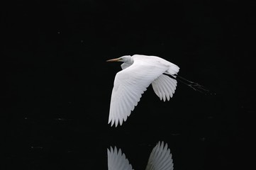 White heron flying over lake