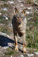Lobo Ibérico hembra. Canis lupus signatus.