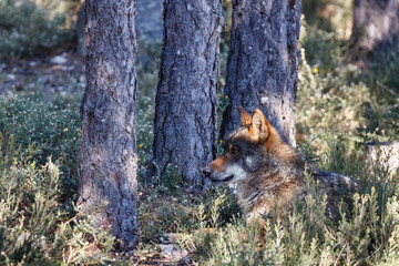 Lobo Ibérico macho, tumbado. Canis lupus signatus.