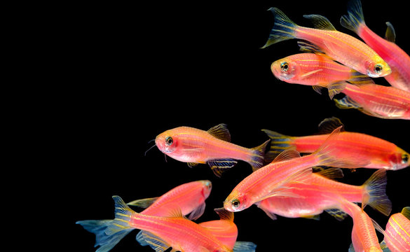 Many pink orange zebra fish live together in a bright, cheerful swimming pool. Isolated on a black background.