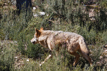 Lobo Ibérico, acechando. Canis lupus signatus.