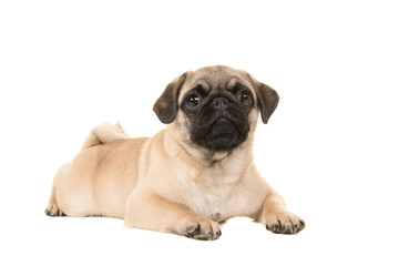 Cute young pug dog lying on the floor looking at the camera isolated on a white background