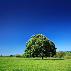 Fototapete - Großer Kastanienbaum in voller Blüte auf grüner Wiese unter blauem Himmel im Frühling