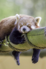 Fototapete - Red Panda Sleeping. This cute nocturnal animal asleep