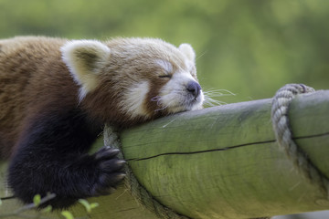 Fototapete - Close up of a red panda sleeping. Exhausted cute animal