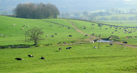 Wall Mural - Herd of British Friesian cows grazing on a farmland in East Devon, England