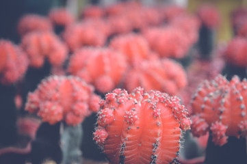 small red cactus background