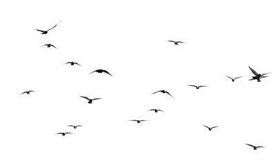 flock of pigeons on a white background