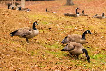 Flock of geese on a glade in the park.