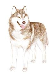Brown Adult Siberian Husky Dog Or Sibirsky Husky
