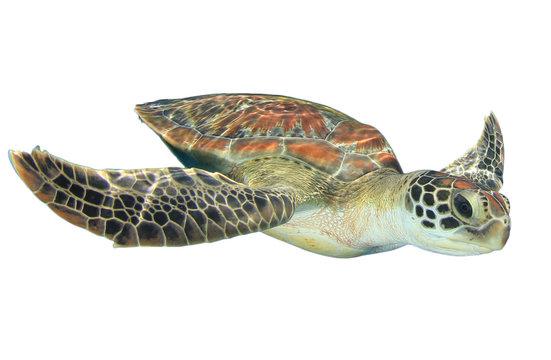 Sea Turtle isolated on white background