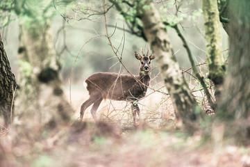 Roe deer buck standing between birch trees.