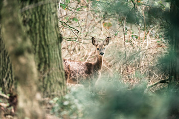 Alert roe deer doe behind tree peeking through bushes.