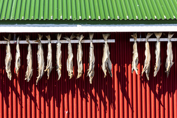 Dried stockfish is the main typical Norwegian product Hamnøy Moskenes county of Nordland Lofoten Islands Norway Northern Europe