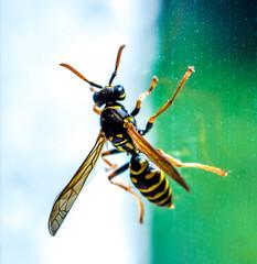 Macro of wasp on window