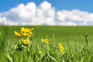 Yellow flowers on green grass field with blue sky, clouds