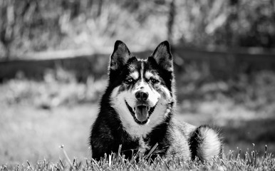 Husky Dog in Black and White