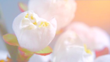 Fotoväggar - Beautiful spring apricot tree flowers blossom timelapse, extreme close up. Time lapse of fresh pink blossoming almond closeup. 4K UHD video