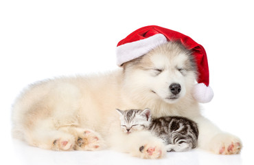 Alaskan malamute dog in red santa hat sleep with scottish kitten together. isolated on white background