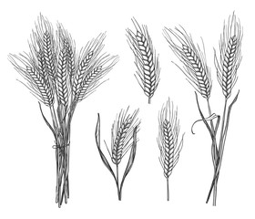 Wheat ear hand drawn sketch set vector illustration. Rice, wheat, oats, rye or barley cereals ear pencil sketches isolated on white background. Organic agriculture, bakery shop, natural harvest symbol