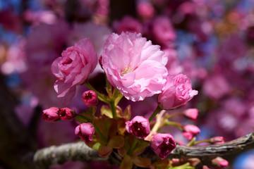 Flores rosas.