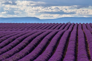 A wonderful day in valensole in purple waves of the sea, Valensole Plateau, Provence, Provence-Alpes-Côte d'Azur, France.