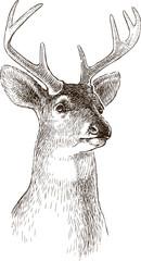 head of an young deer
