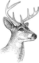 sketch of a deer head