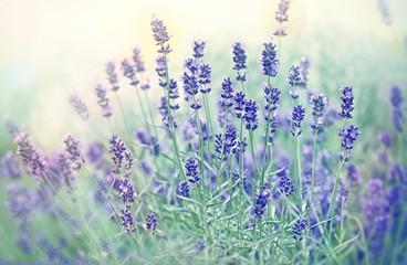 Soft focus on beautiful lavender in flower garden