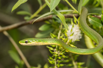 A Rough Green snake climbing in a small tree.