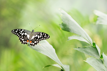 Papilio demoleus. Butterfly sitting on leafs. Green nature background