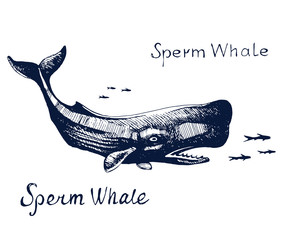 Sperm whale, the animal on the hunt for fish