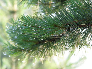 Close up of rain drops on green pine needles with fresh green copyspace