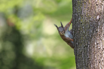 European red squirrel peeking from the side of a tree