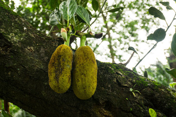 two jackfruits with leaf still hanging on the tree photo taken in Jakarta Indonesia