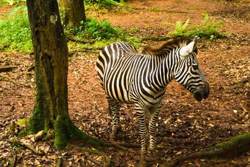 Zebra with beautiful black and white striped standing near a tree photo taken in Ragunan zoo Jakarta Indonesia