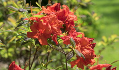 Blossoming rhododendron in the  garden