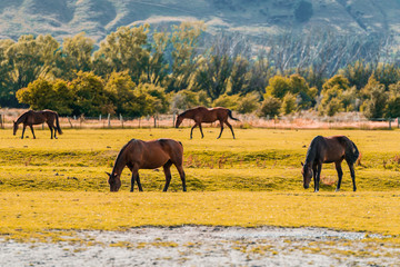 New Zealand horses