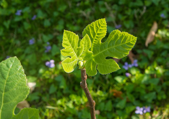 close-up of two budding fig leaves in spring